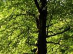 Die Hainbuche - ein Baum erzählt